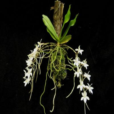 Orchid Aerangis mystacidii
