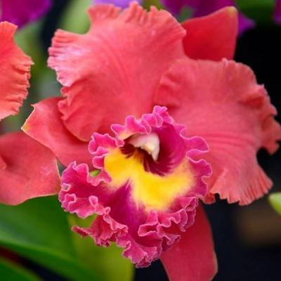 Orchidée Cattleya Ahchung Ruby Siam