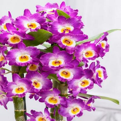 Orquídea Dendrobium Nobile Akatsuki rose