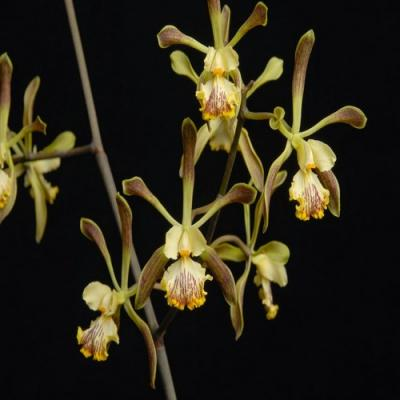 Orchidée Encyclia alata