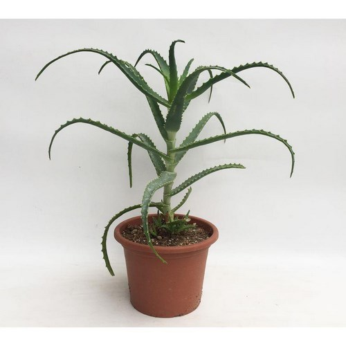 Aloe arborescens achat vente