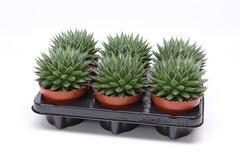 Aloe aristata 'Magic' Rocks (12cm)