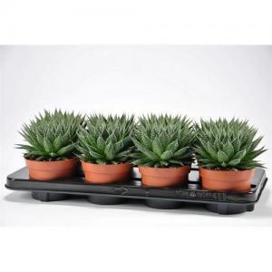 Aloe aristata vente