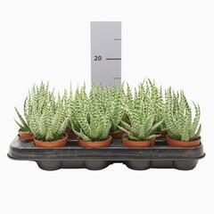 Aloe humilis (7cm)