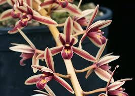 Aloifolium