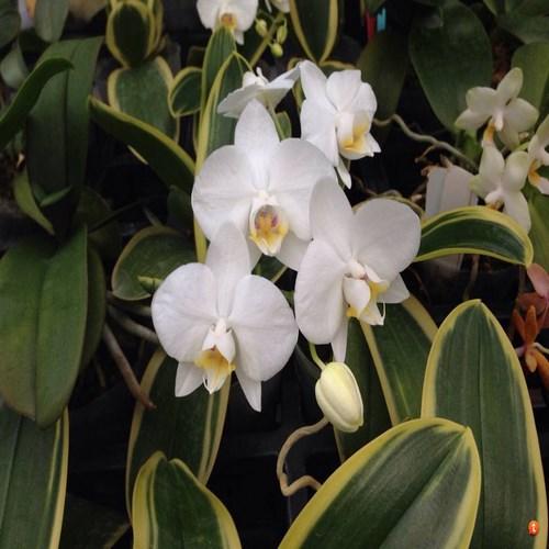 Amabilis variegata