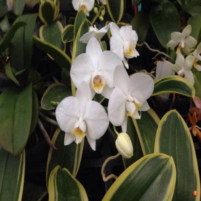 Orchidée Phalaenopsis amabilis variegated