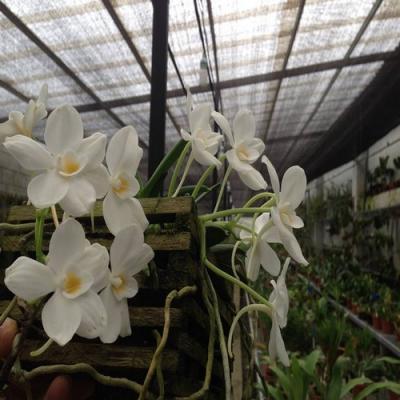Orchidée Amesiella philippinensis