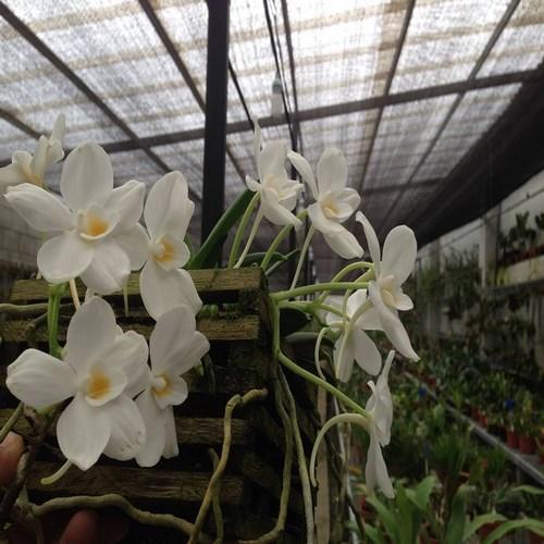 Orchidee Amesiella philippinensis