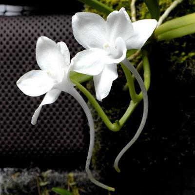 Orquídea Amesiella monticola