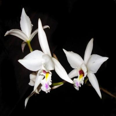 Orchidée Laelia anceps semi. Alba
