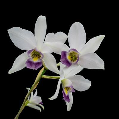 Orchidée Laelia anceps var veitchiana