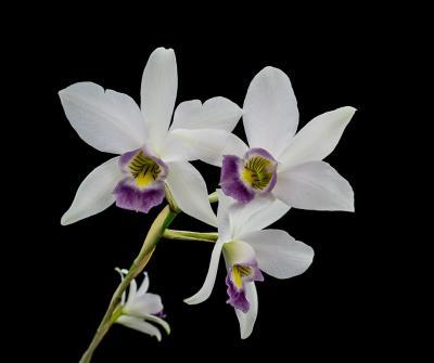 Orquídea Laelia anceps var veitchiana