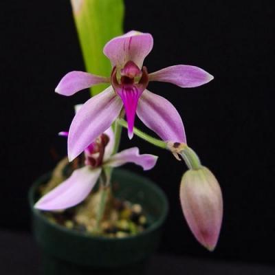 Orquídea Ancistrochilus rothschildianum
