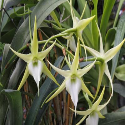Angraecum crestwood tomorrow star orchidee fleurie vente