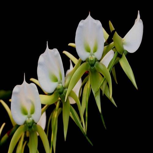 Orchidee Angraecum eburneum