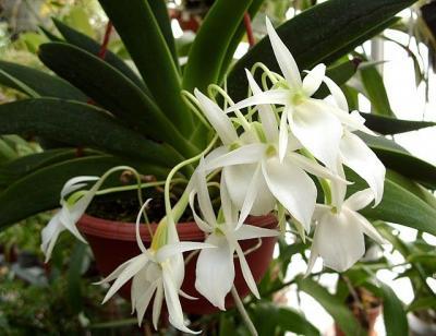 Orquídea Angraecum leonis