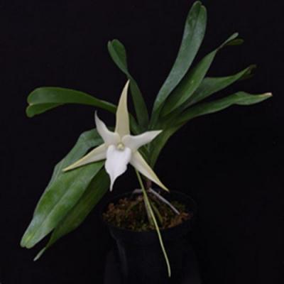 Orchid Angraecum sesquipedale