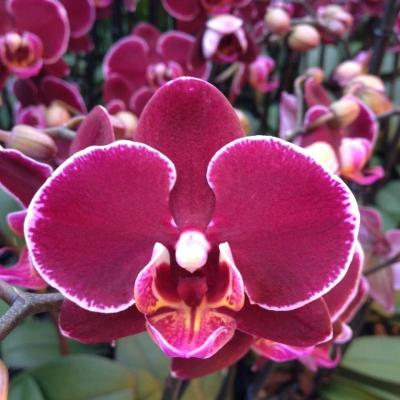 Orquídea Phalaenopsis ANTHURA MONTPELLIER