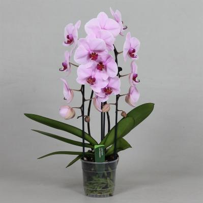 Orchidee Phalaenopsis ANTHURA WASHINGTON