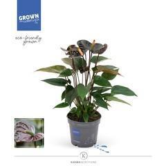 Anthurium 'Black Love'(12cm)