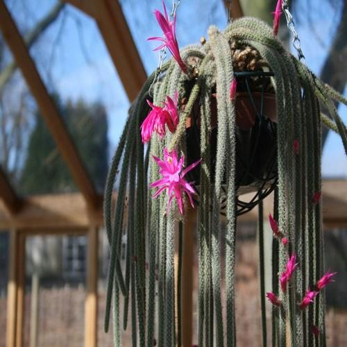 Aporocactus flagelliformis cactus achat vente buy kaufen