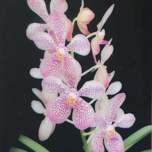 Aranda orchidee velvet