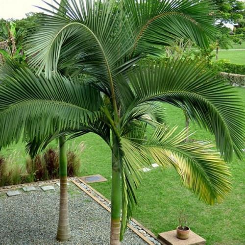 Archontophoenix alexandrae palmier achat vente