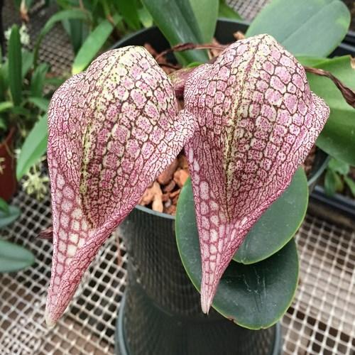 Orchid Bulbophyllum arfakianum