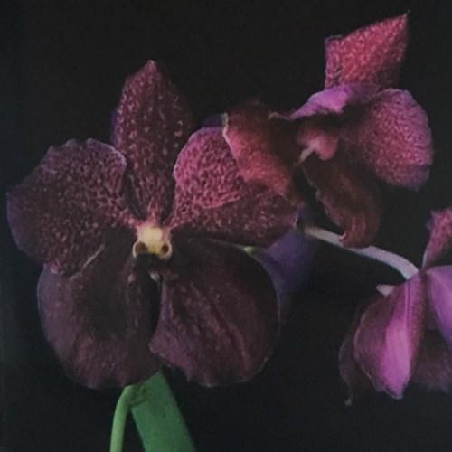 Orchidee Ascocenda butterfly x Vanda fuchs fortune
