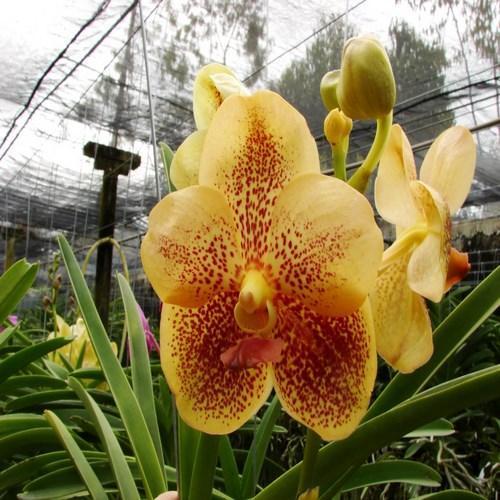 Orquídea Ascocenda kultana brown