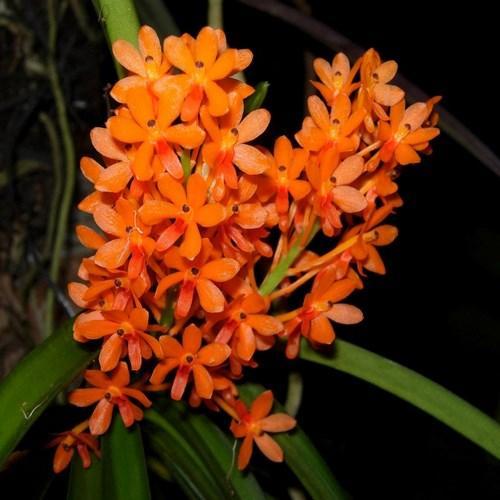 Orquídea Ascocentrum aurantiacum