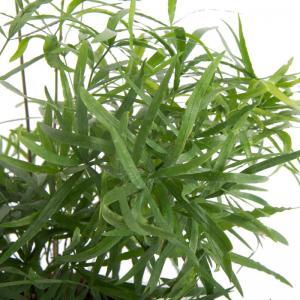 Asparagus falcatus 2