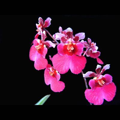 Orchidée Tolumnia jairak rainbow soft pink