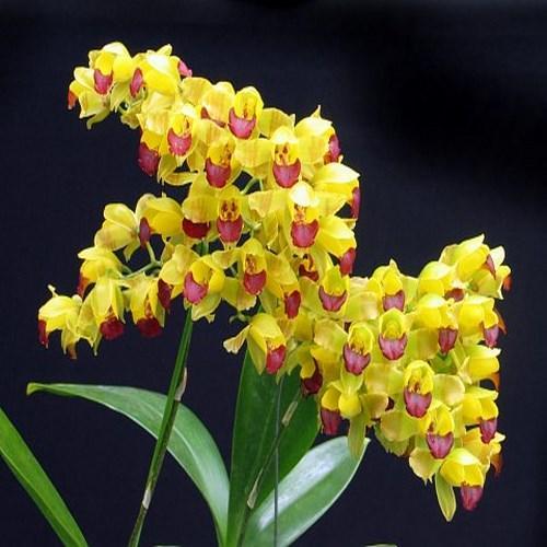 Orchidee Baptistonia echinata
