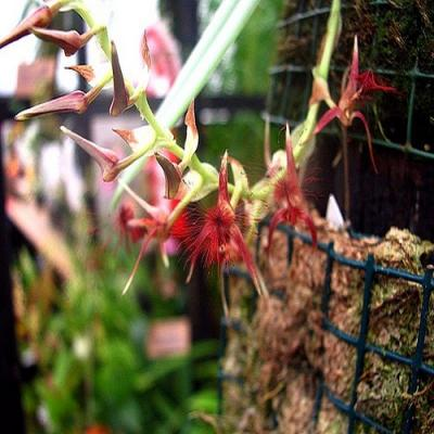 Orquídea Bulbophyllum barbigerum