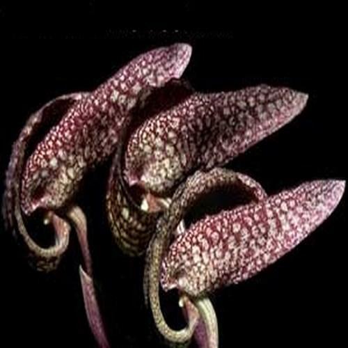 Orchid Bulbophyllum cominsii