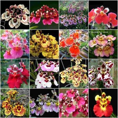 10 Tolumnia Blooming size