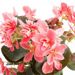 Begonia elatior ceveca vente plante fleurie