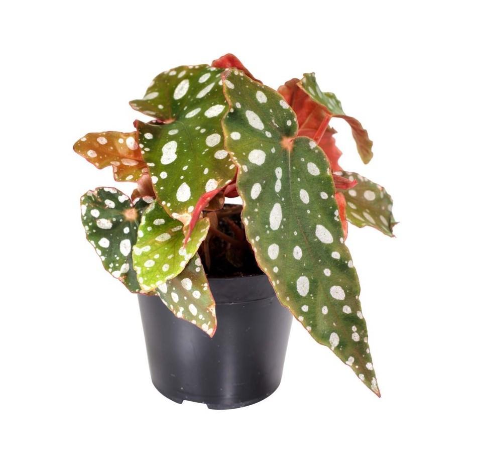 Begonia maculata 1