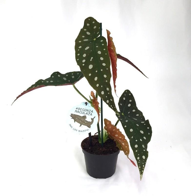 Begonia maculata 2