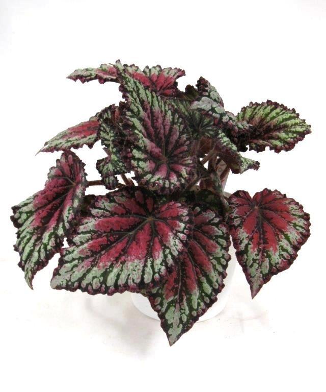 Begonia royal rubin