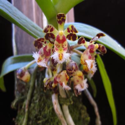 Orquídea Gastrochilus bellinus