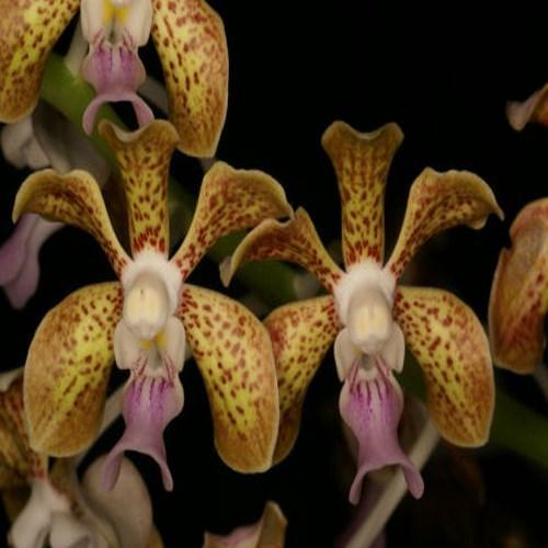Orquídea Vanda bensonii x tesselata