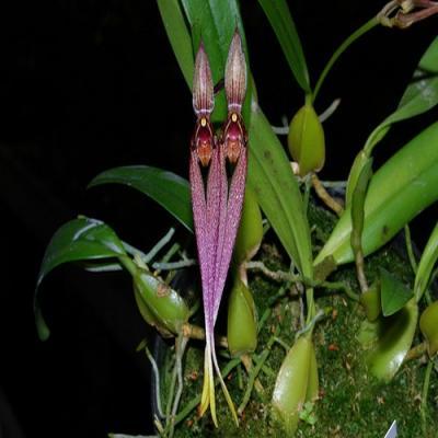 Orchidee Bulbophyllum biflorum