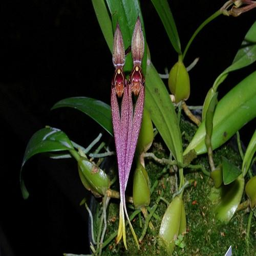 Orchidée Bulbophyllum biflorum