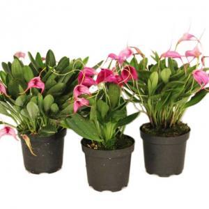 Bijzondere orchideeen masdevallia