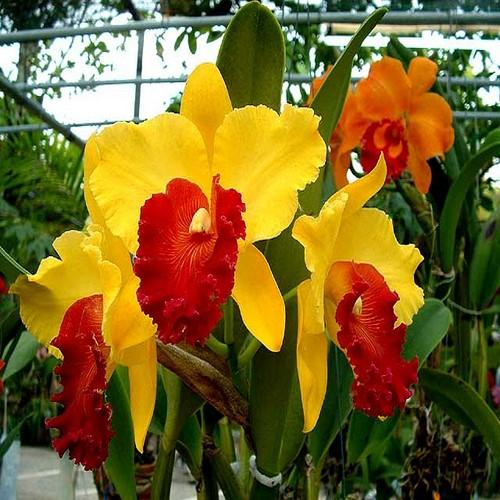 Orchidea Cattleya Almakee Thipmalee
