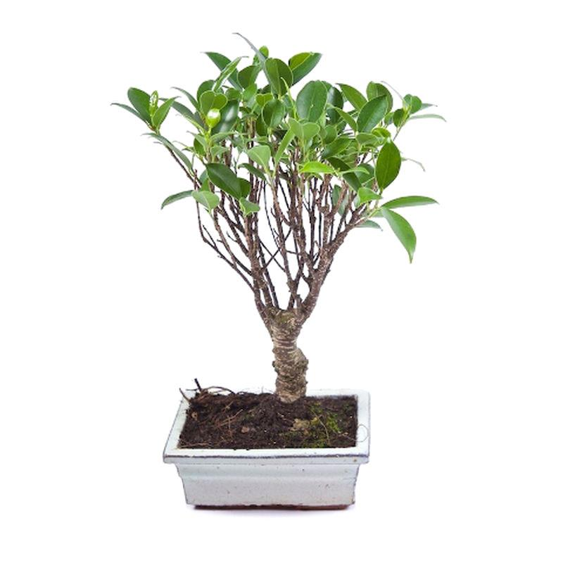 Bonsai ficuc retusa a vendre