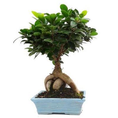 Bonsaï Ficus Carica